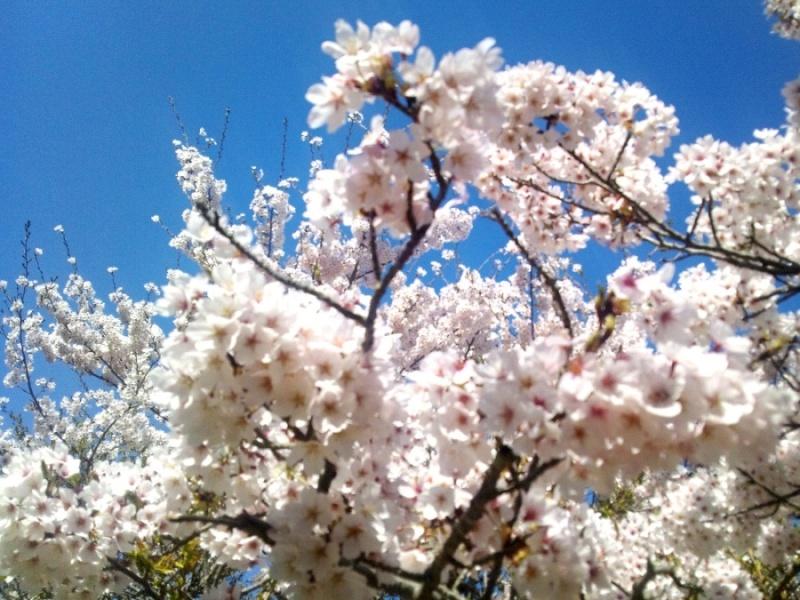 4月 ツキワグランドの桜で花見会