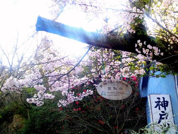 ツキワ会館横の桜