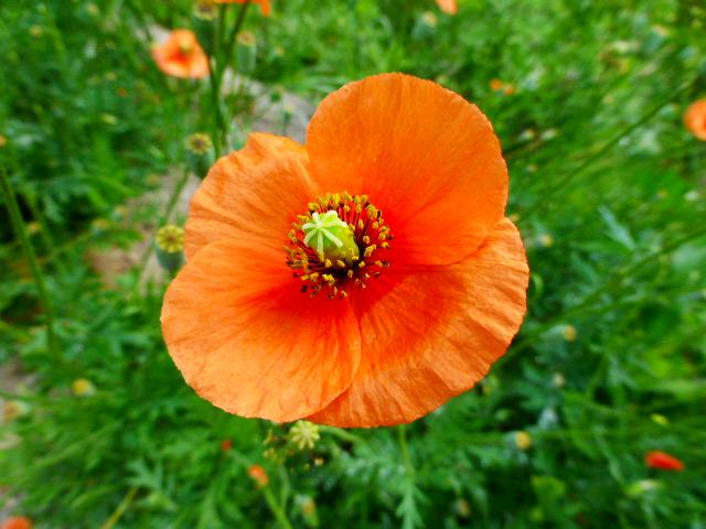 高取山のポピーの花