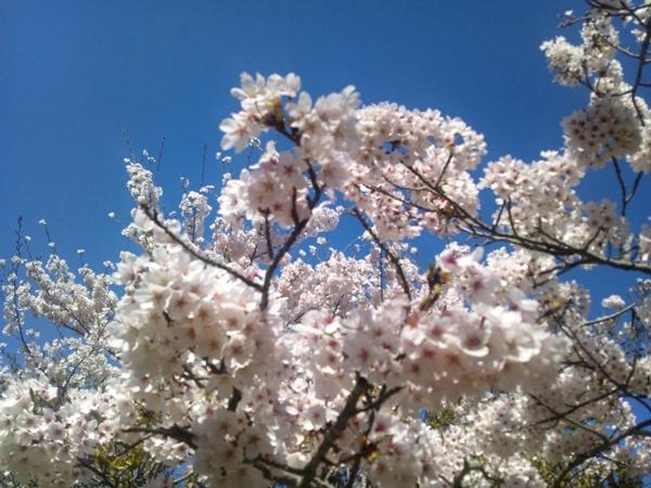 ツキワグランドの桜