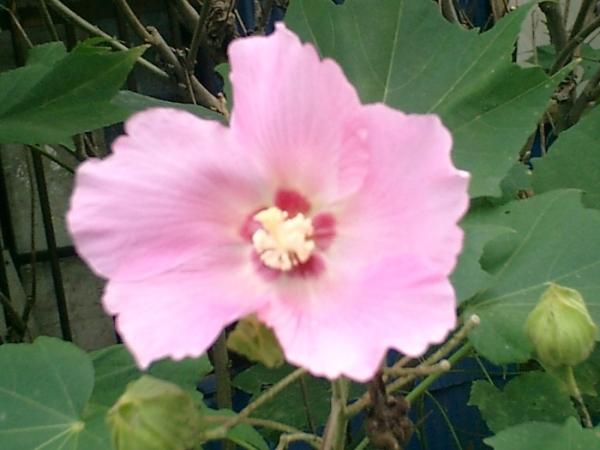 月見茶屋横の芙蓉の花