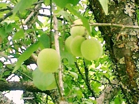 下山口の梅の実