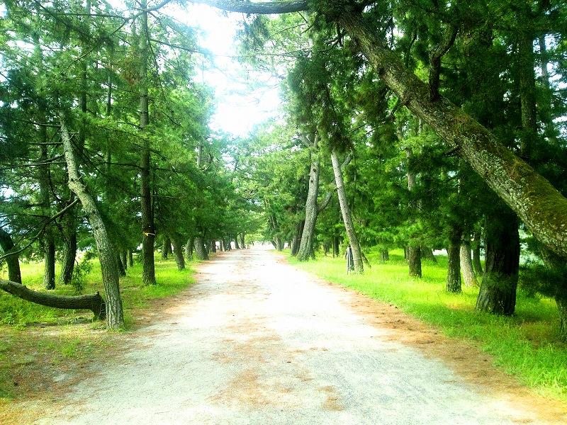 大天橋の松林