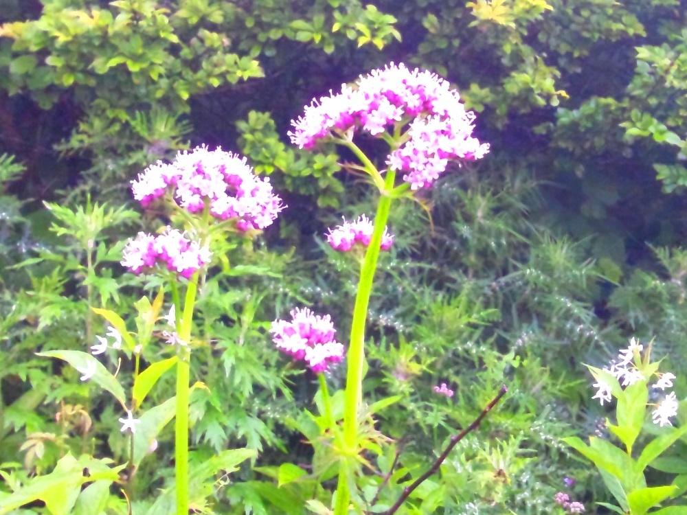 カノコソウの花