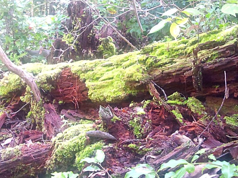 倒木に生えた緑苔
