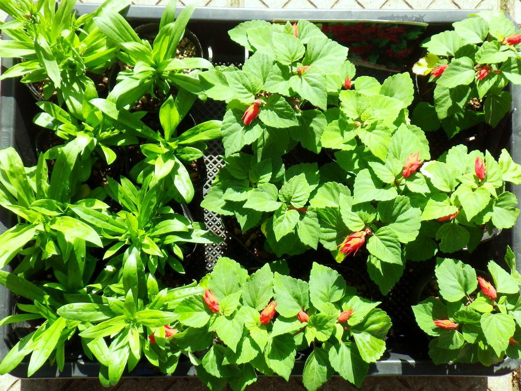 01b 新規に定植する花の苗
