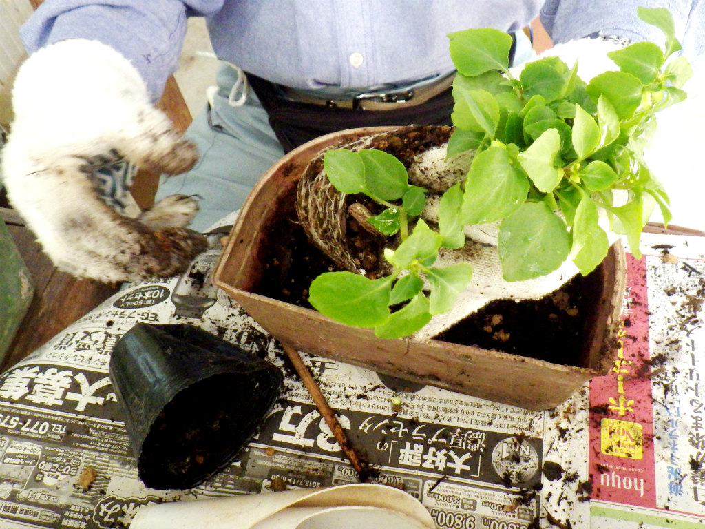 07b 鉢のくぼみに苗を移す