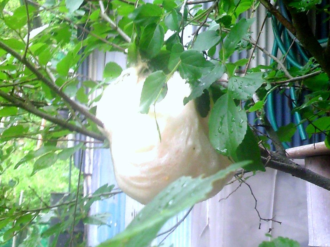 01a モリアオガエルの卵塊