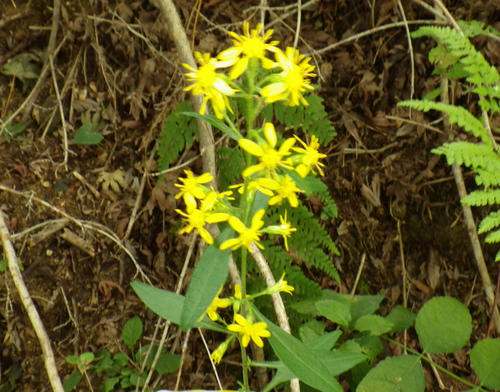 23a 山麓の黄色い花