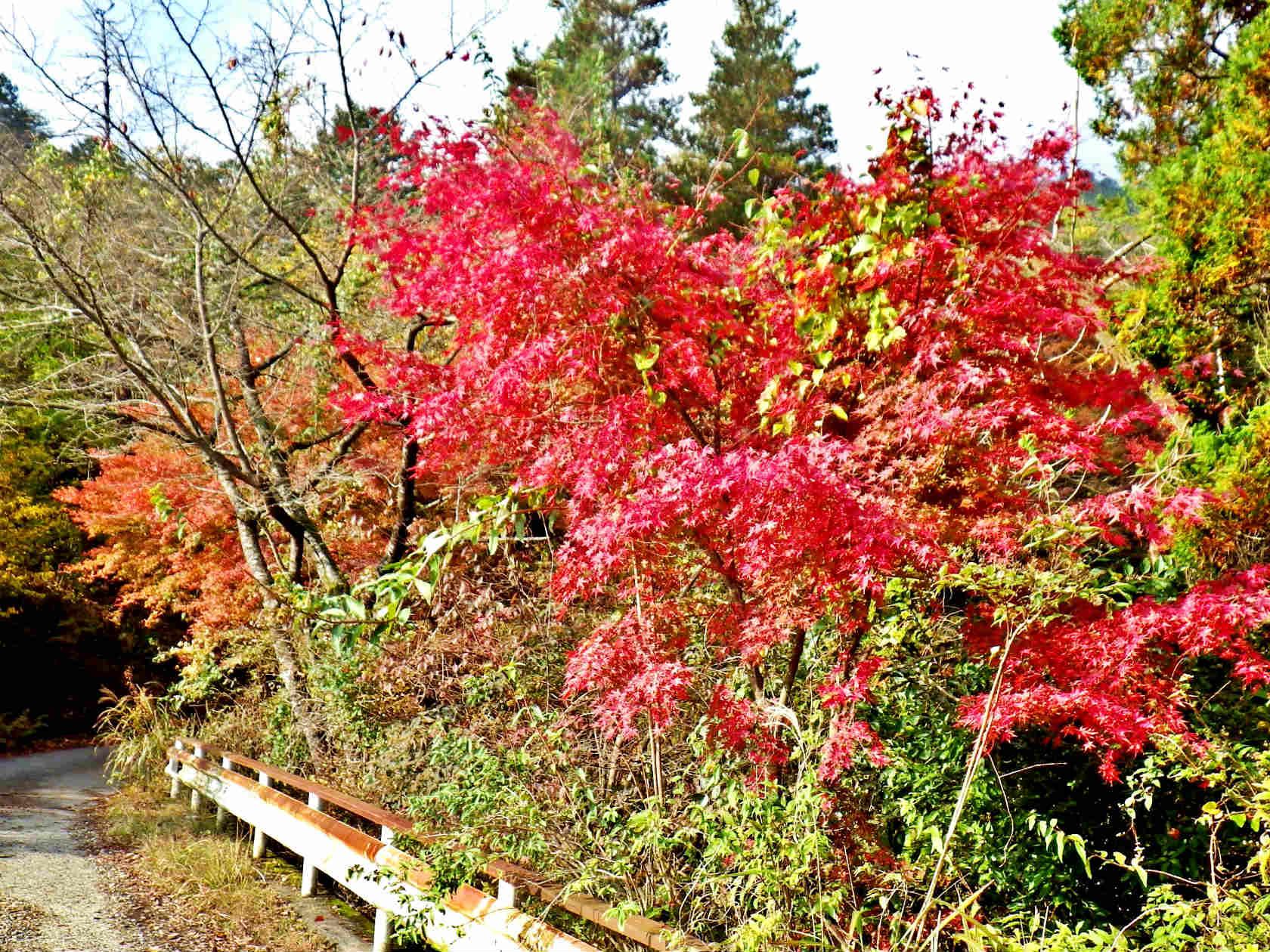 03b 正面谷橋の紅葉