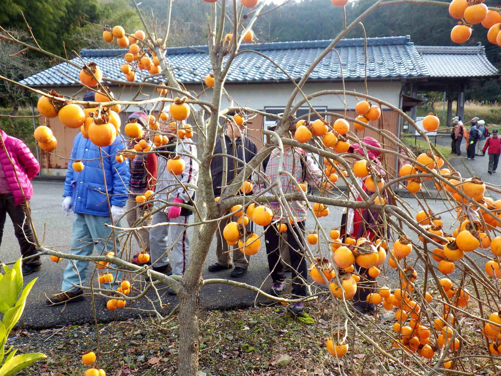 18b 鈴なりの柿