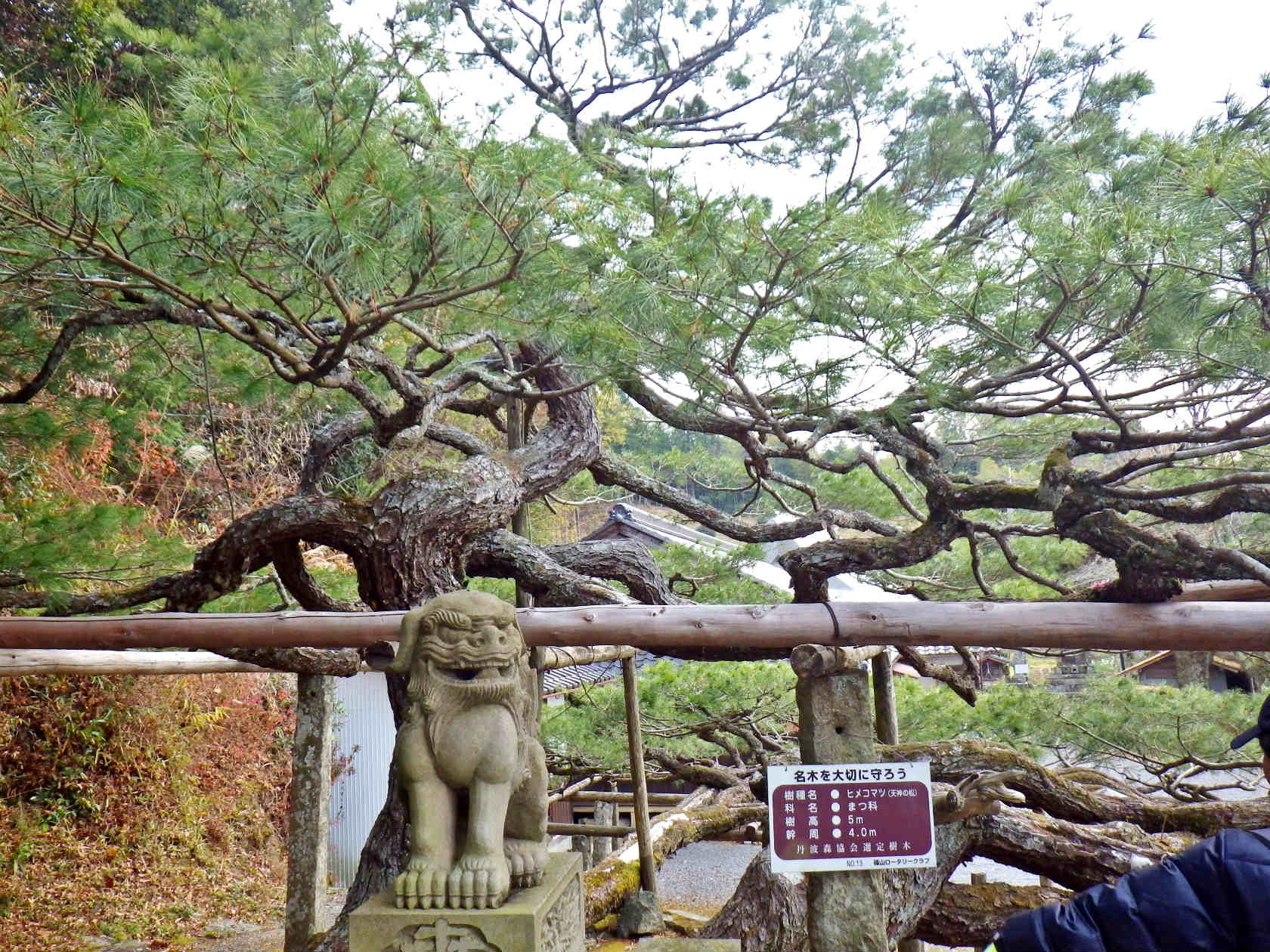 04b 名木の五葉松