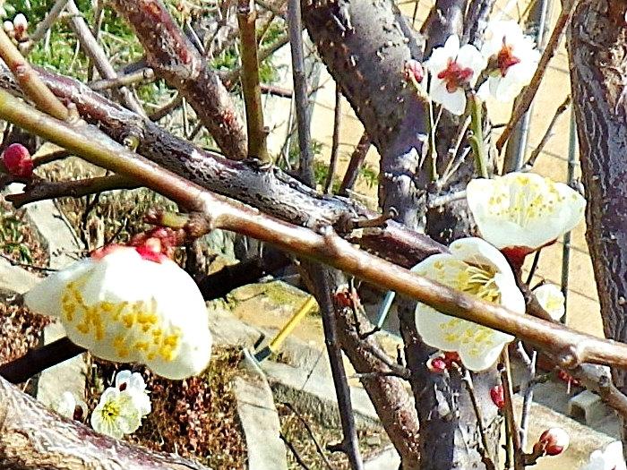 06b 咲き始めた梅