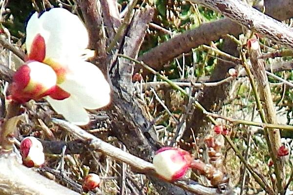 06a 咲き始めた梅