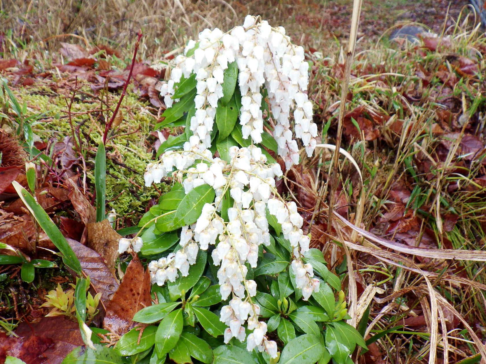 11b 白い袋状のアセビの花