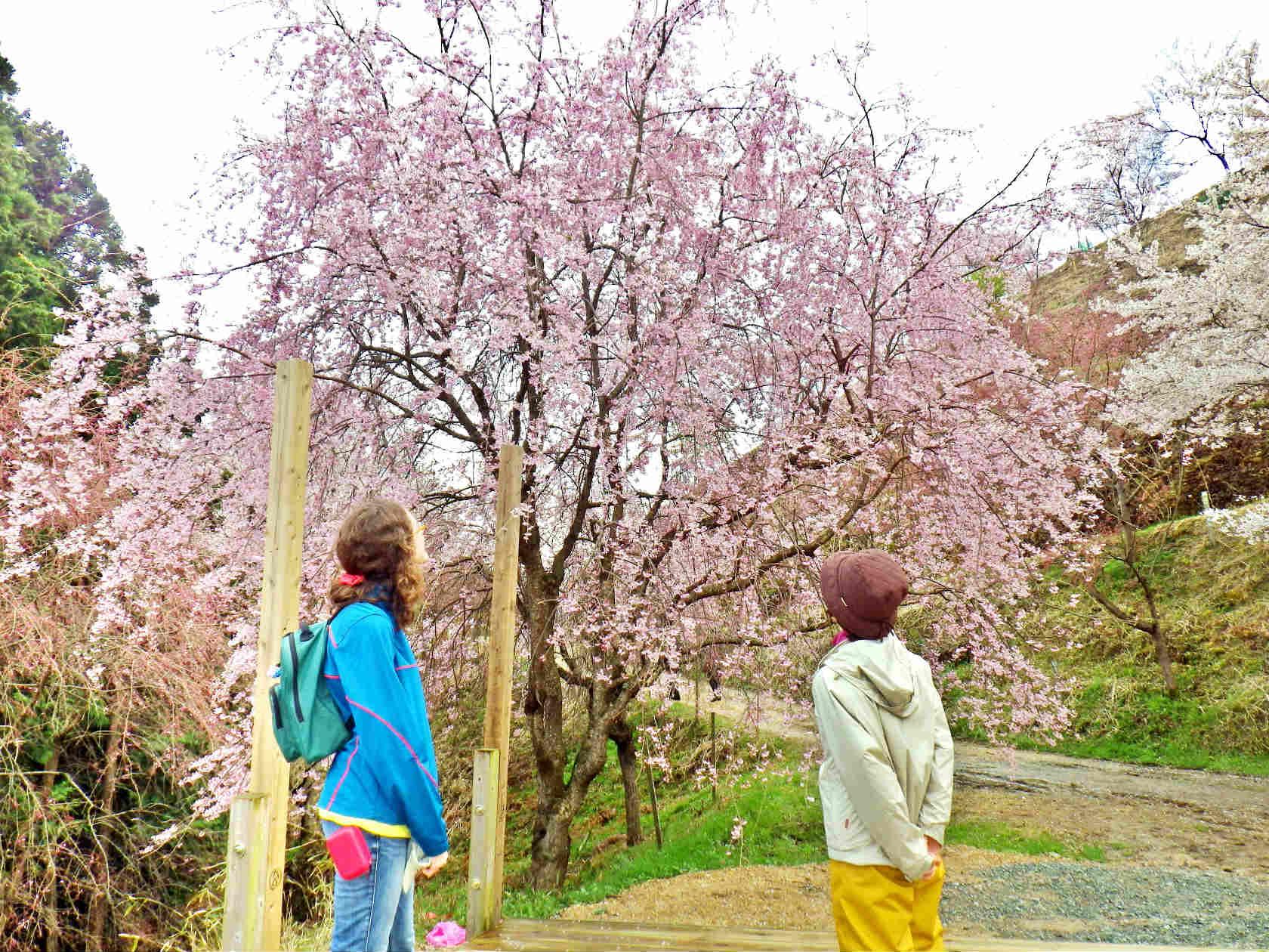 19b ピンクのしだれ桜