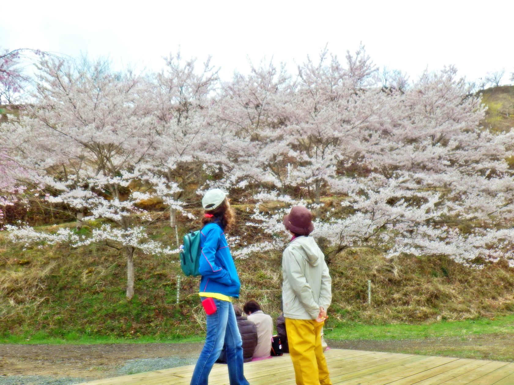 20a 桜の広場の桜