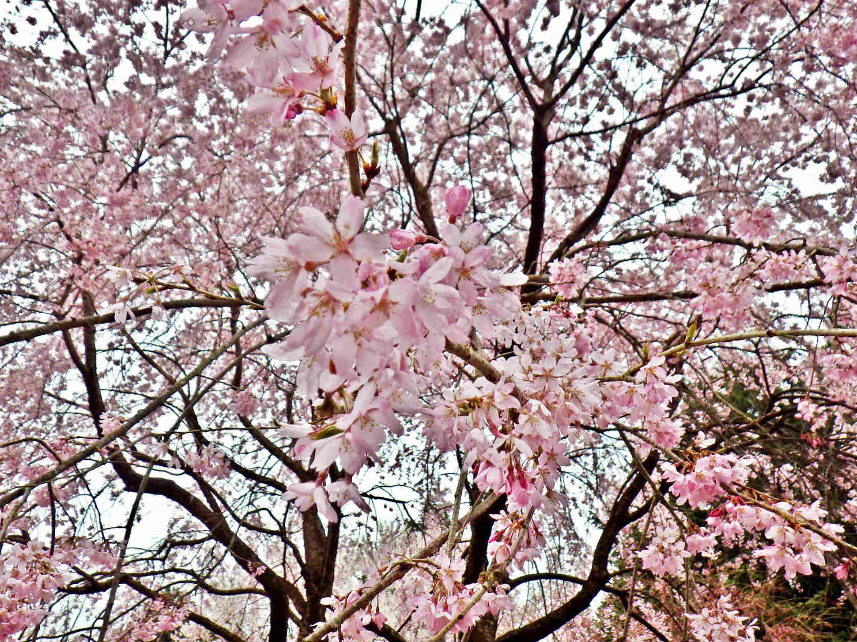 04a 満開の桜