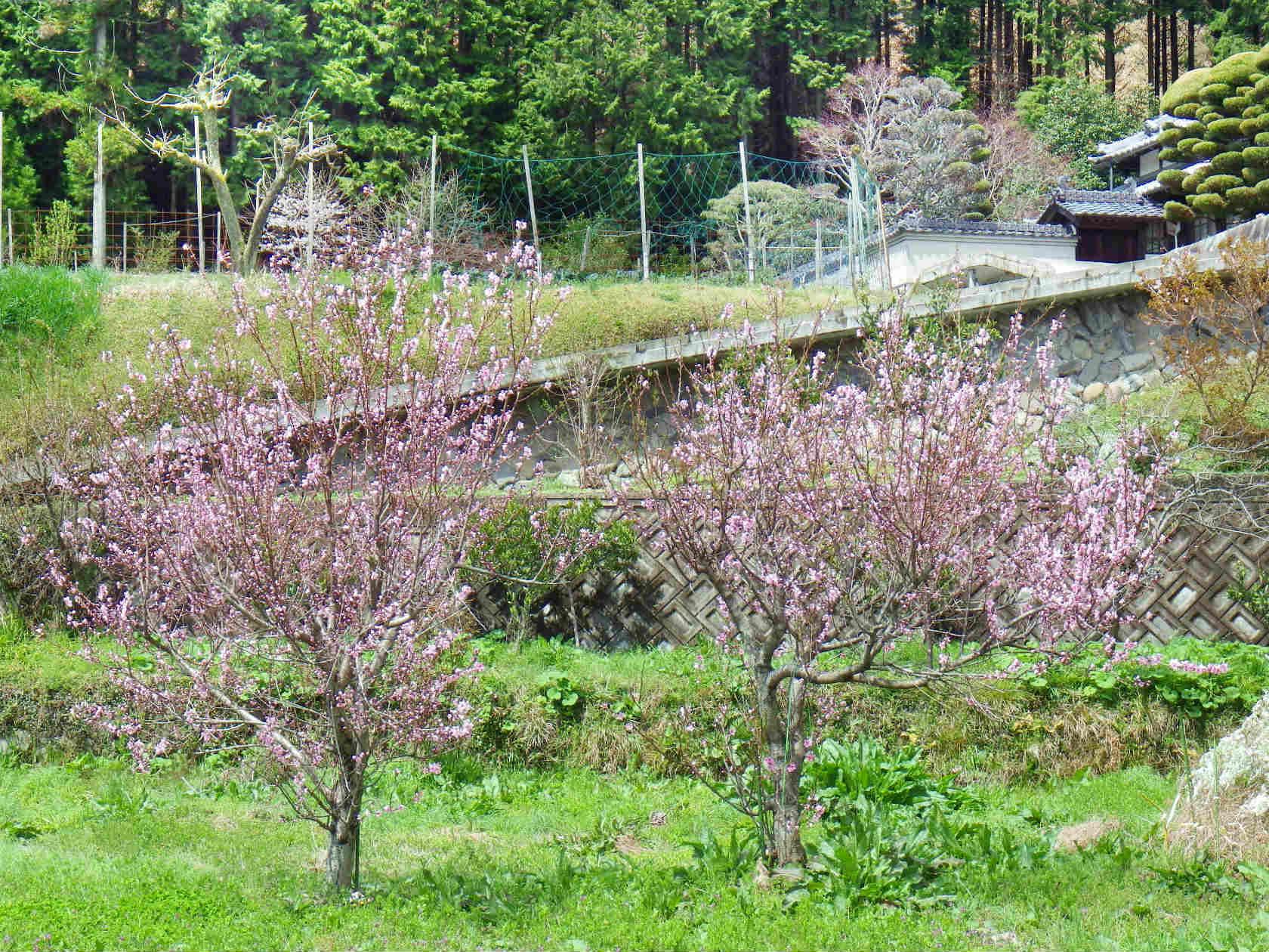 16b 桜華園近くの桃の花