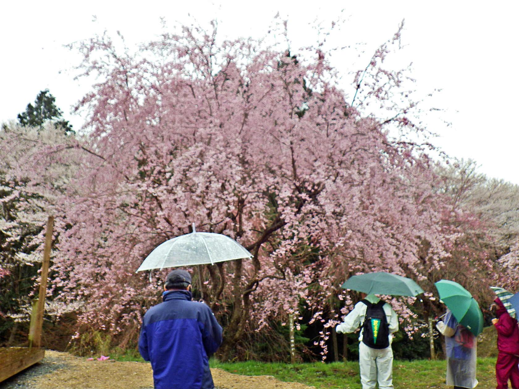 03b 桜を見ながら進む