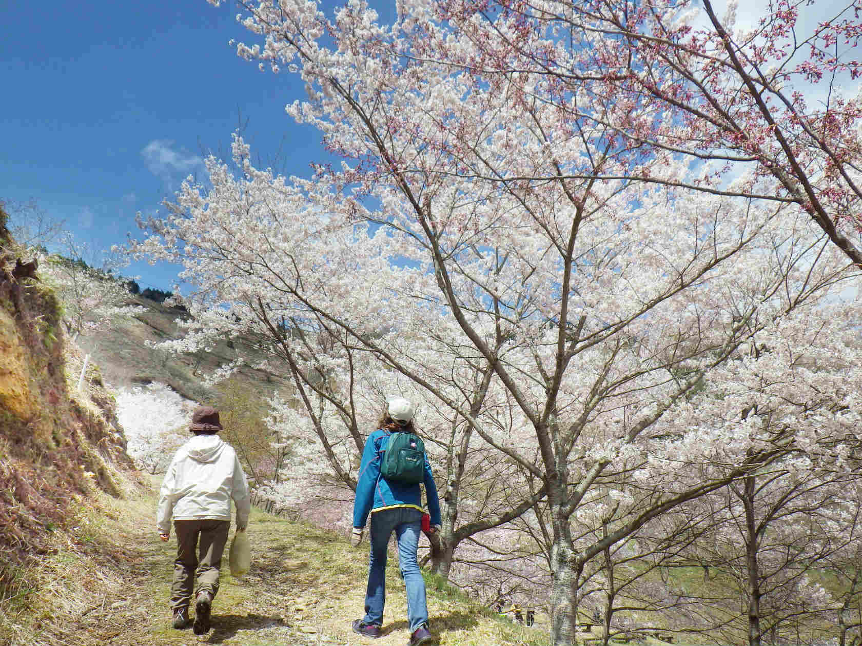 20b 桜の坂道を登る