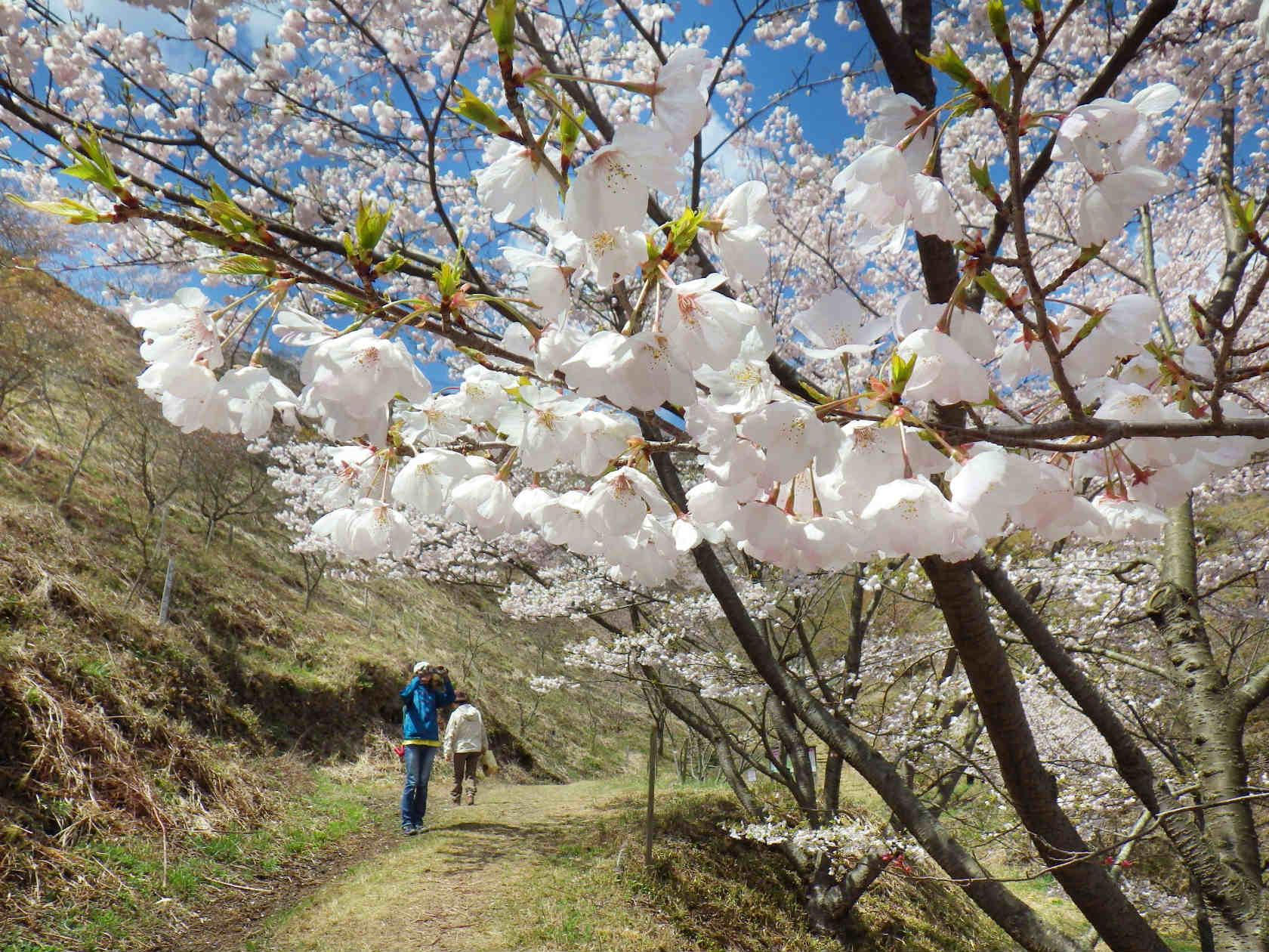 21a 淡いピンクの桜