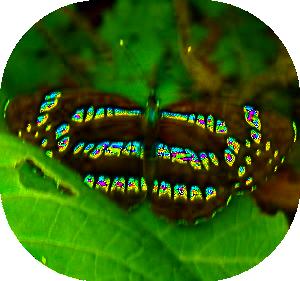 高取山のミスジ蝶