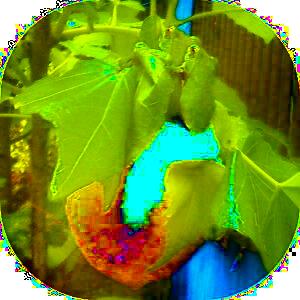 高取山のモリアオガエル