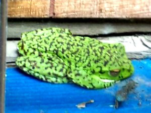 04b 卵塊を見守る親ガエル