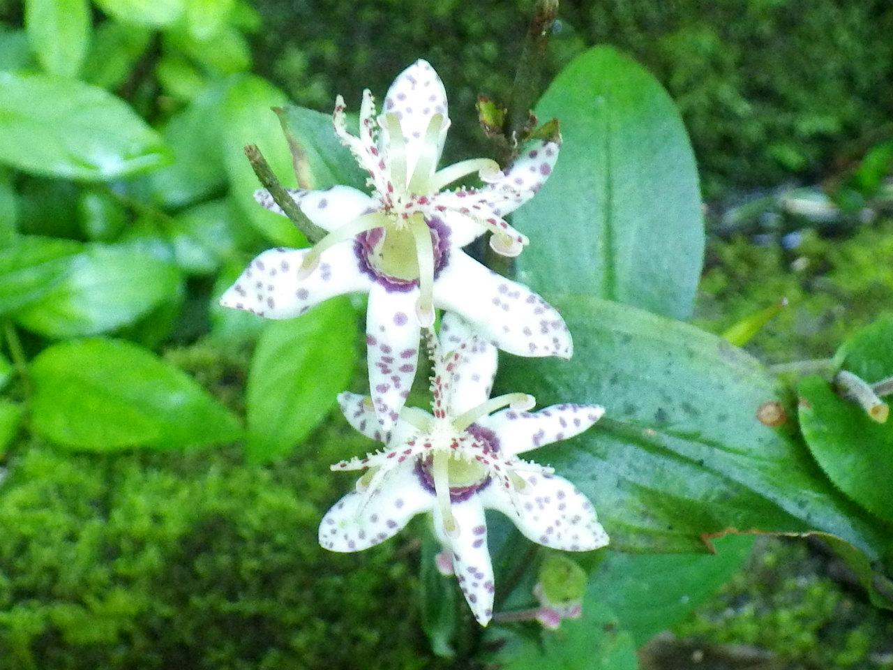 26a ホトトギスの花