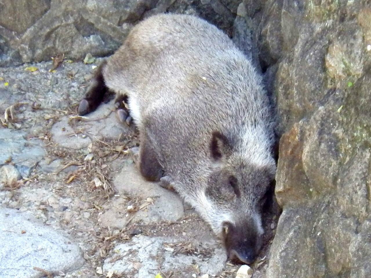 07b 川床で寝る猪