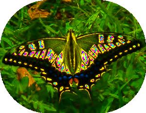 高取山のキアゲハ蝶