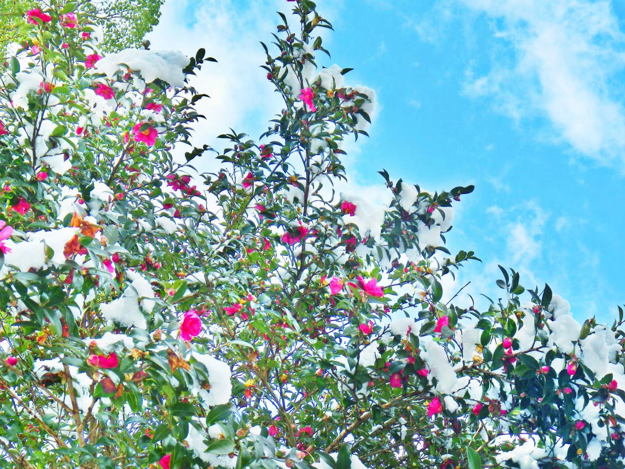 30b 池の畔の山茶花