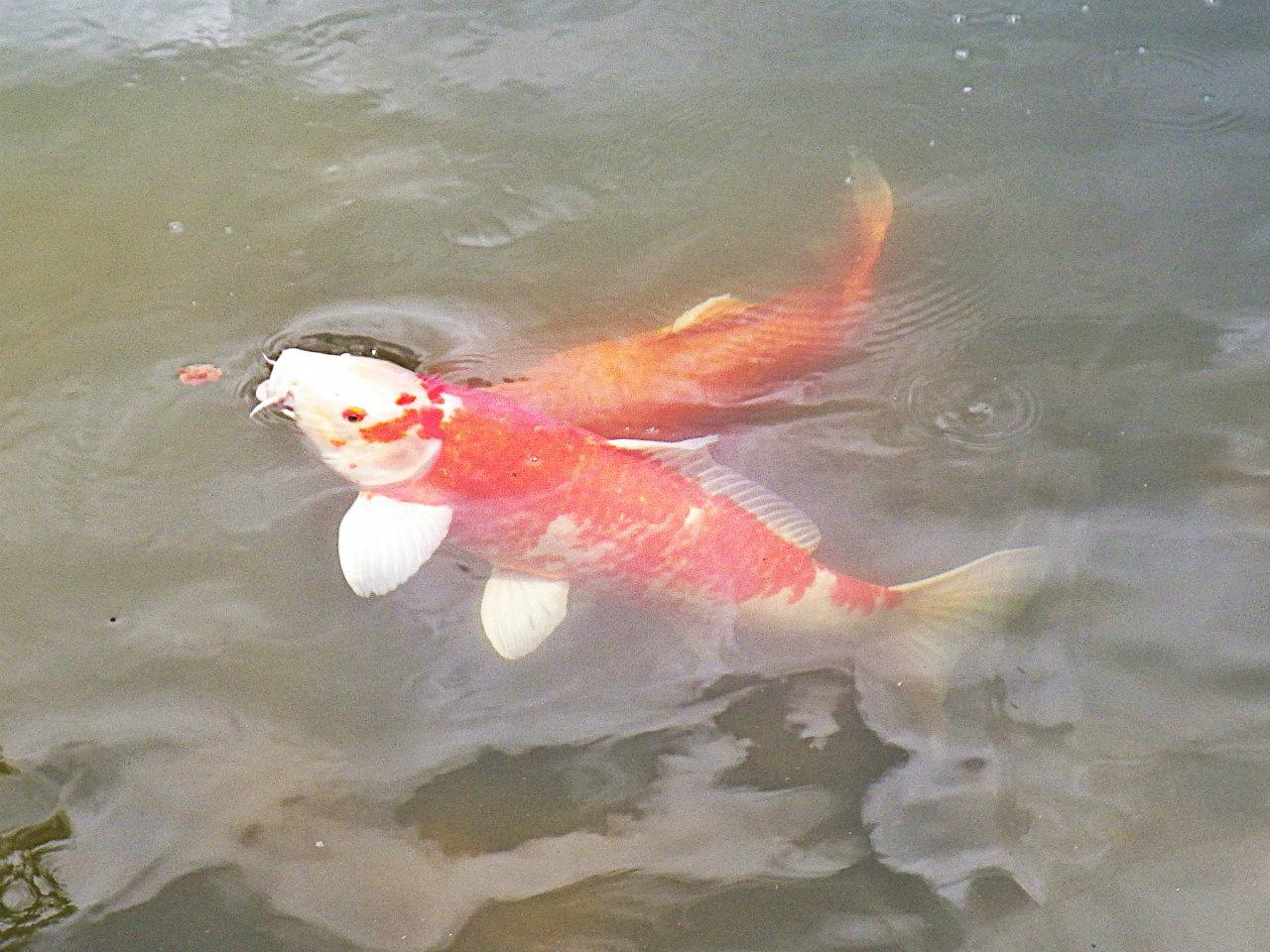 20b 修法ヶ原池の鯉
