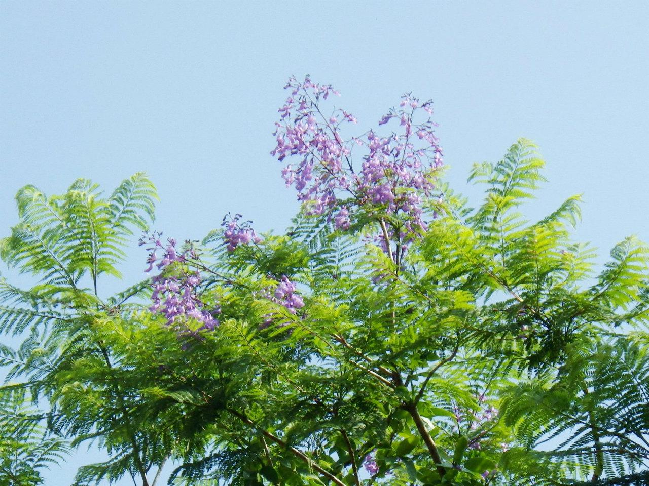 03b ジャカランダの花