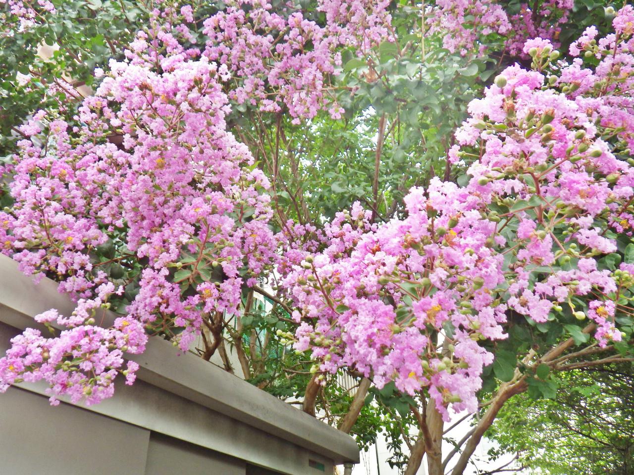 03b ピンクのサルスベリの花