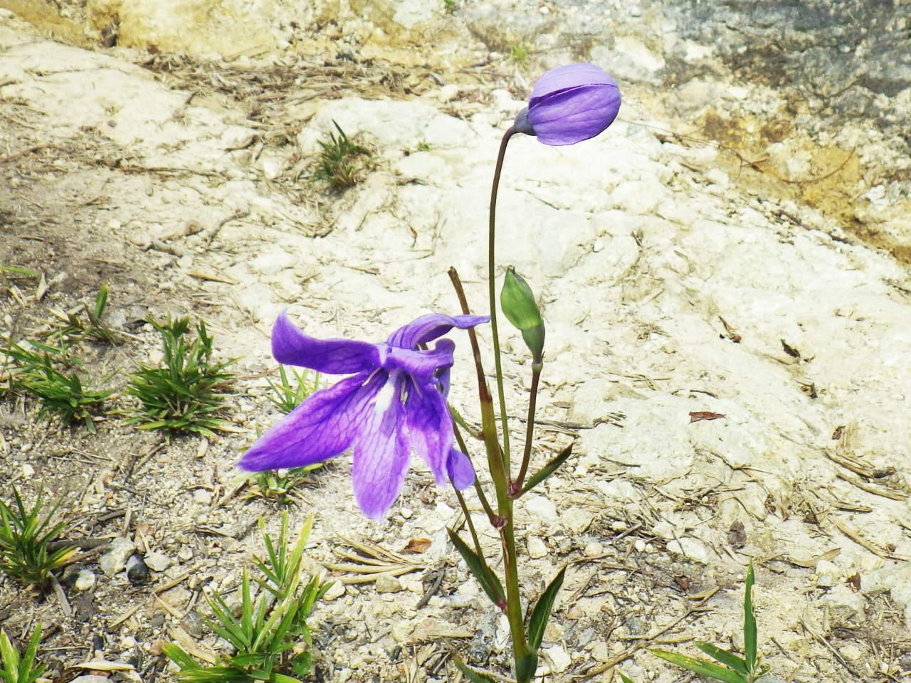 20b 桔梗の花