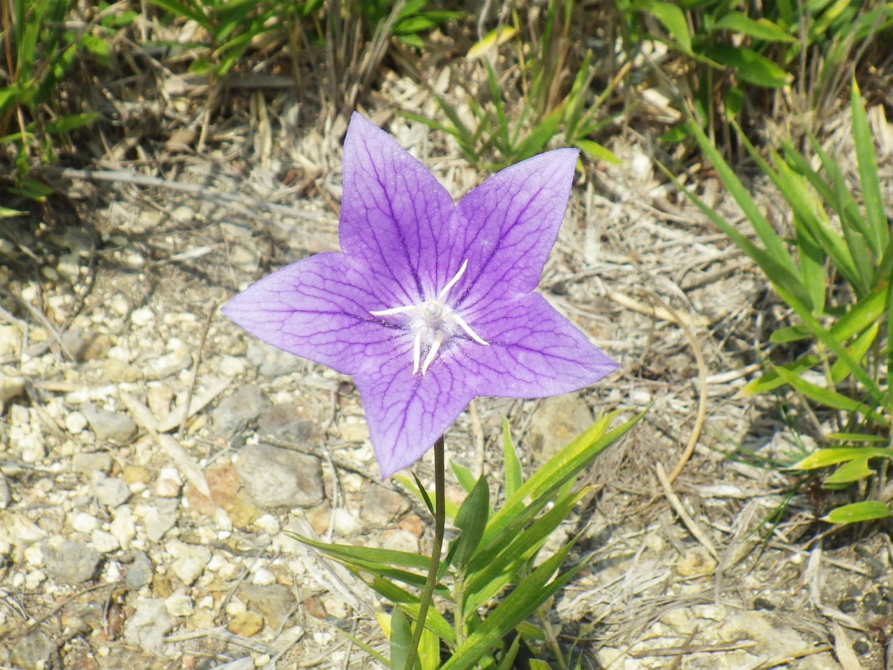 20a 桔梗の花
