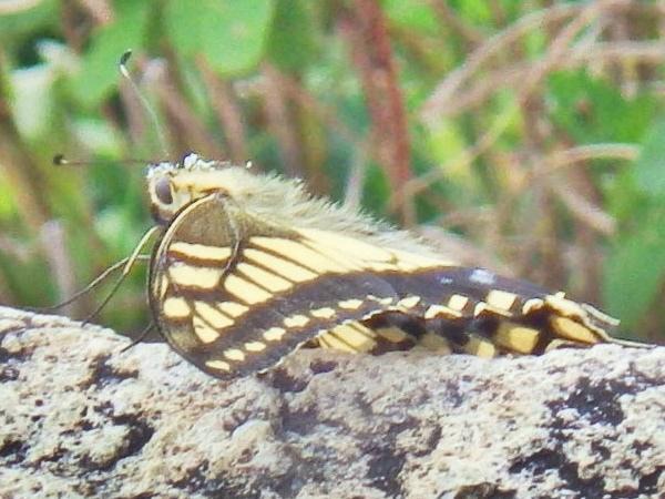 14b 山上の蝶