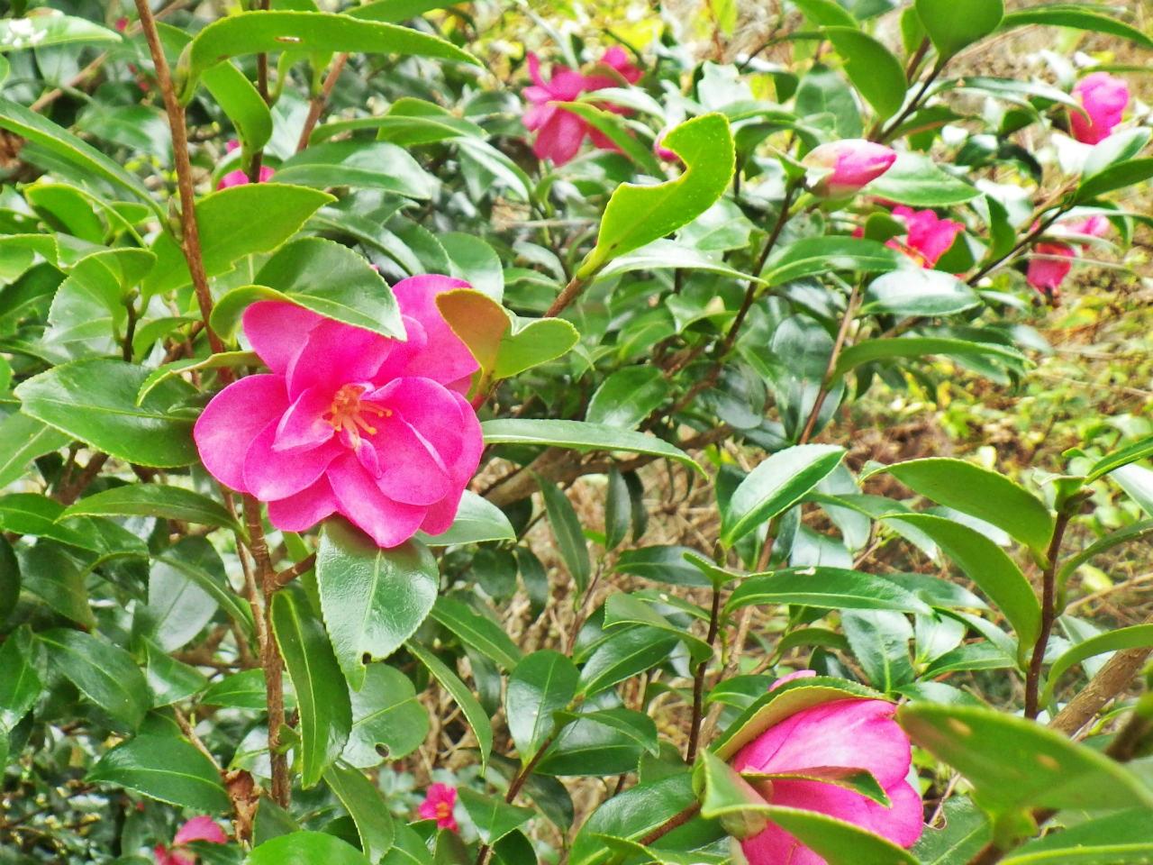 03b サザンカの花