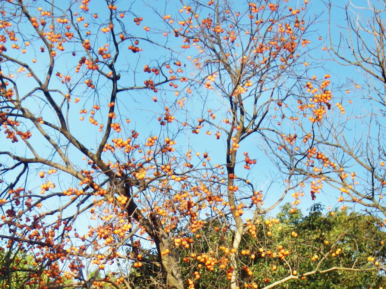 04a 神社の上の登山道の柿