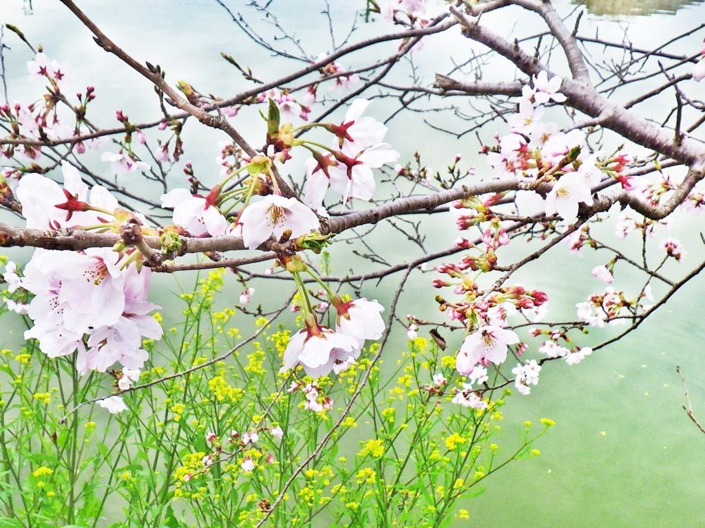 06b 大池の畔の桜