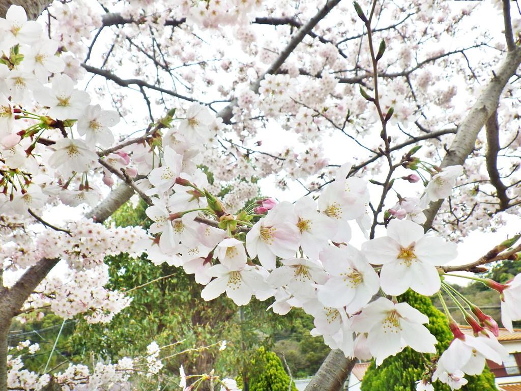 05a のじぎく公園の桜