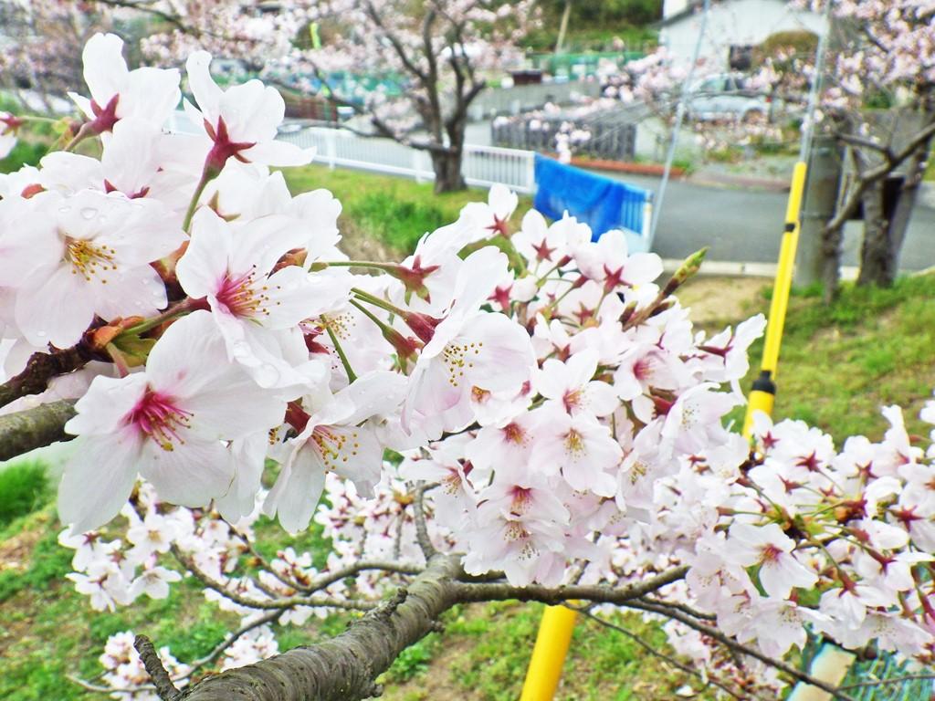 05b のじぎく公園の桜