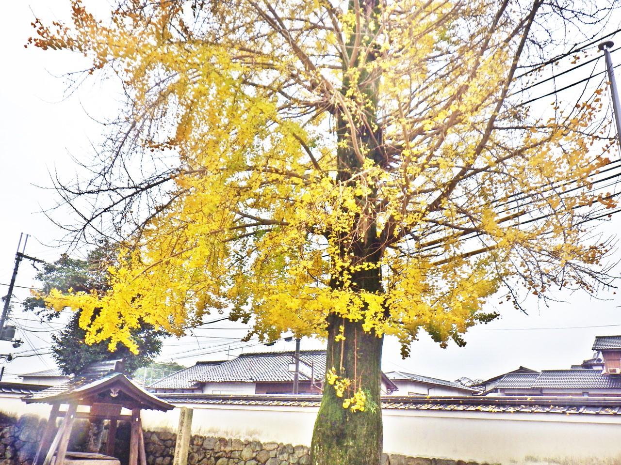16b 生源寺の銀杏